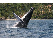 Whale Watching in Samana - In season from January 15 to March 25